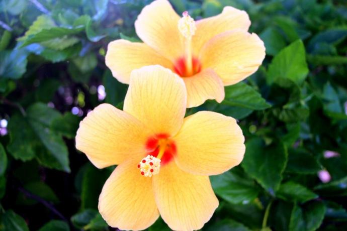 Seven Stars flowers